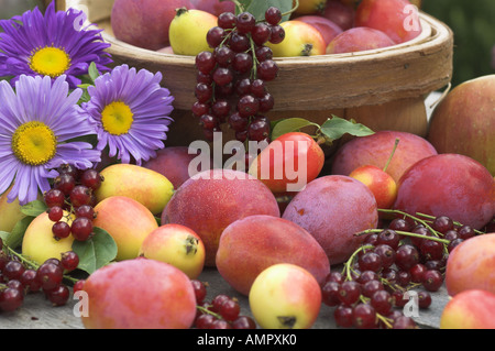 Freshly  picked Selection of home grown soft fruit, including apples, plums, red currants and berries, England, - Stock Photo