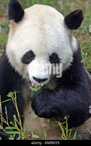 Giant Panda Chengdu Research Base of Giant Panda Breeding Futou Hill Chengdu western China - Stock Photo