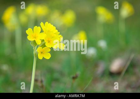 Field of primroses - Stock Photo