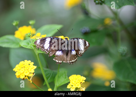 Diadem Butterfly Feeding on Yellow flower - Stock Photo