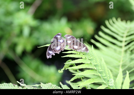 Pair of Diadem Butterflys on leaf - Stock Photo