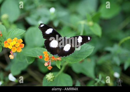 Diadem Butterfly on leaf - Stock Photo