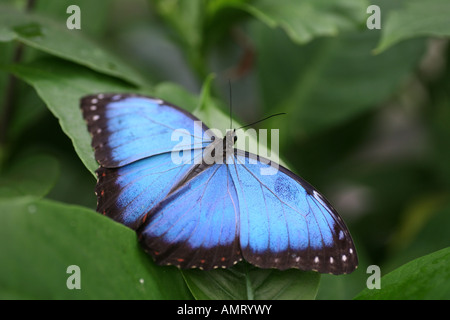Morpho peleides Butterfly on leaf - Stock Photo