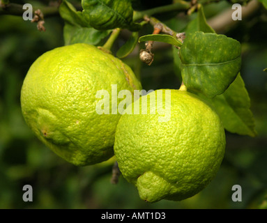Two ripening lemons on a tree - Stock Photo