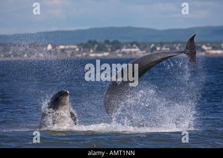 Bottlenose dolphins Tursiops truncatus breaching Moray Firth Scotland July - Stock Photo