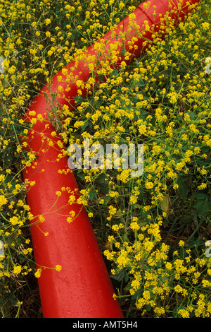 California, Solano County, Mustard flowers and water pipe - Stock Photo