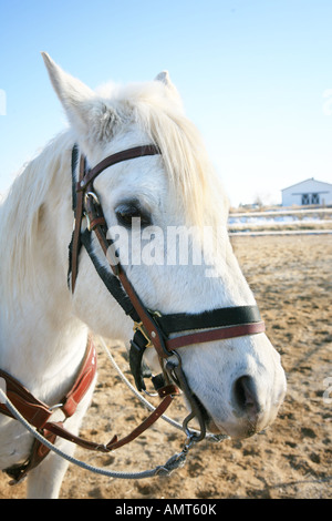 White Arabian Horse headshot wearing bridle - Stock Photo