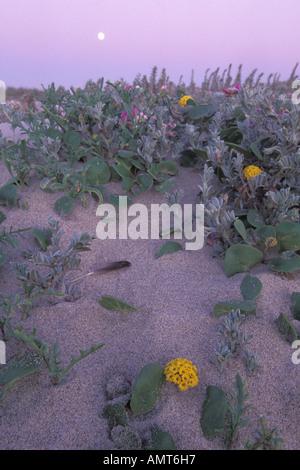 California, Moss Landing, Salinas River State Park, Moon and dune flowers - Stock Photo