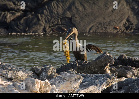 Galapagos Flightless Cormorant Galapagos Islands Ecuador - Stock Photo