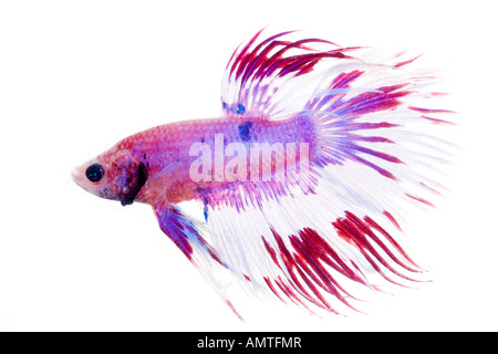 White red purple and pink Betta fish isolated on white - Stock Photo