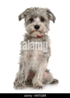 Havanese dog siting in front of A white background - Stock Photo