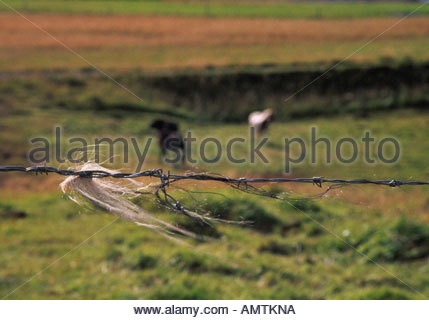 Horsehair on a barbed wire fence two horses behind Iceland northwest Skagafjordur - Stock Photo