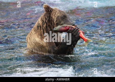 Grizzly bear (Ursus arctos horribilis) feeding on Sockeye Salmon - Stock Photo
