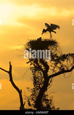 Jabiru stork on nest at dawn Jabiru mmycteria Pantanal Brazil - Stock Photo