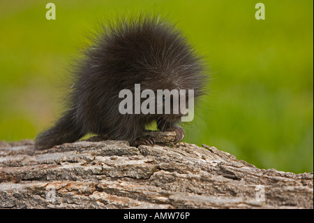 Common Porcupine Erethizon dorsatum Minnesota USA - Stock Photo
