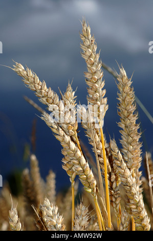Ears of ripe wheat set against a stormy sky Cumbria - Stock Photo