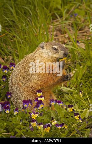 Baby groundhog or woodchuck marmota monax eastern north for Woodchuck usa
