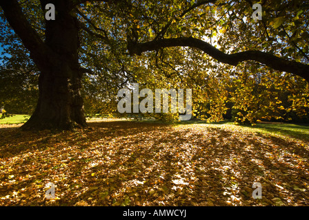 Autumn leaves under a large tree as dawn breaks - Stock Photo
