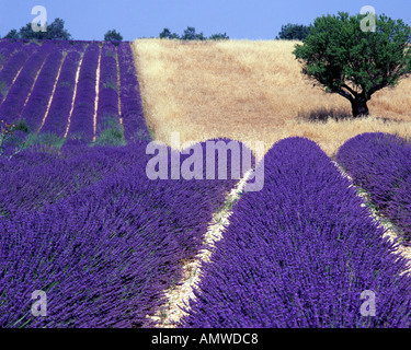 FR - ALPES-DE-HAUTE-PROVENCE: Lavender Field and tree on Plateau de Valensole near Puimoisson - Stock Photo