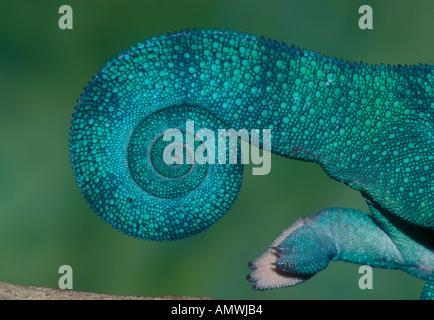 Tail of panther chameleon Furcifer pardalis Madagascar