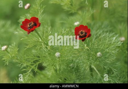 pheasant's eye, false hellebore (Adonis annua, Adonis autumnalis), blooming plants - Stock Photo
