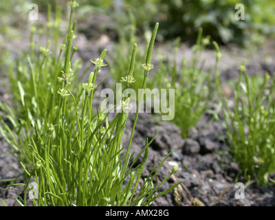 mousetail, common mouse-tail, least mouse-tail, tiny mouse-tail (Myosurus minimus), blooming plants - Stock Photo
