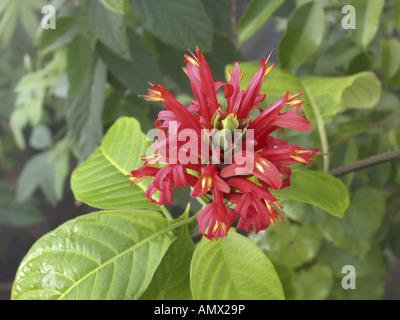Cardinals Guide, Cardinal's Gard (Pachystachys coccinea, Justicia coccinea), blooming plant - Stock Photo