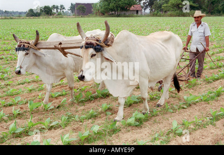 Farmer ploughing field with oxen, Cuba. - Stock Photo