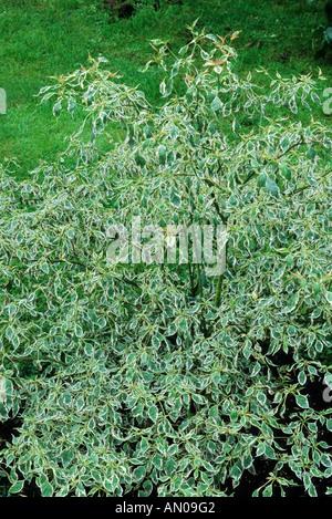Cornus alternifolia 'Argentea', syn. 'Variegata', Dogwood, variegated leaf, garden plant dogwoods - Stock Photo