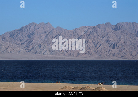 Red Sea coast at Nuweiba Sinai Egypt Arabian Mountains across the straits Camels seated on the shore in the foreground - Stock Photo