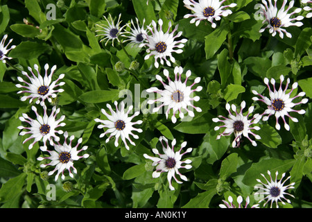 Spoon Daisy Osteospermum Whirligig Compositae Introduced from New Zealand as Tauranga in 1979 renamed Whirligig - Stock Photo