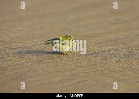 Goldcrest Regulus regulus wind blown migrant on beach Donna Nook Lincolnshire England - Stock Photo