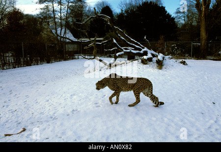In the Wassenaar Wildlife Breeding Centre cheetah are kept outside in large compounds even in wintertime - Stock Photo