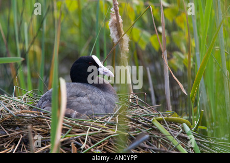 Coot Fulica atra nesting at the edge of a reed bed - Stock Photo