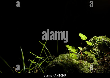 Clovers and blades of grass standing out against black in a forest - Stock Photo