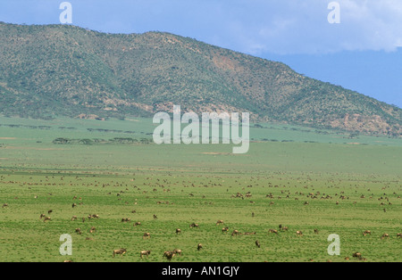 White-bearded wildebeest (Connocheaetes taurinus albo-jubatus) - migrating herds on the short grass plains of Serengeti - Stock Photo