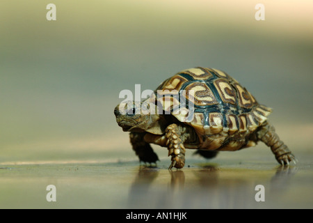 Newly hatched Leopard tortoise - Stock Photo