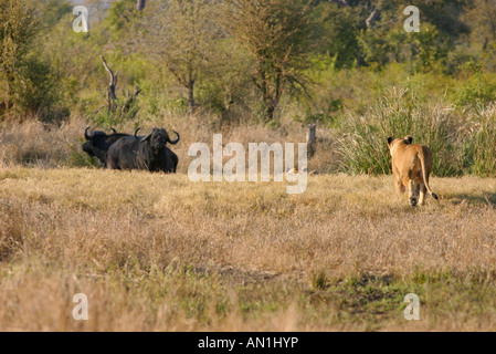 hunt big game hunting buffalo hunt herd of buffalo and hunter stock photo 48418046 alamy. Black Bedroom Furniture Sets. Home Design Ideas