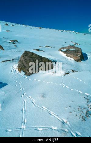 rock ptarmigan (Lagopus mutus), tracks in snow, United Kingdom, Scotland, Grampian mountains