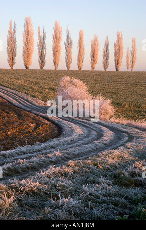 Cottonwoods in Hoarfrost, Germany, Winter - Stock Photo
