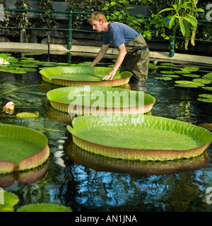 giant water lily pads and gardner kew gardens giant santa cruz lily - Stock Photo
