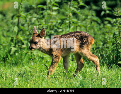 Reh Kitz Capreolus capreolus Roe Deer Fawn - Stock Photo