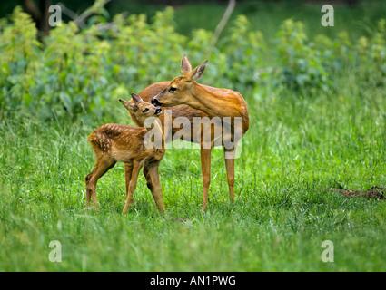 Rehe Ricke mit Kitz Capreolus capreolus Roe Deer with fawn - Stock Photo