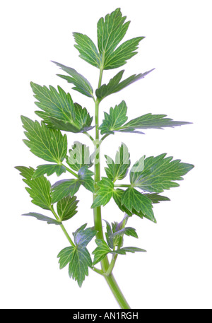garden lovage bladder seed Levisticum officinale foliage leaves - Stock Photo