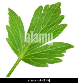 garden lovage bladder seed Levisticum officinale single leaf - Stock Photo