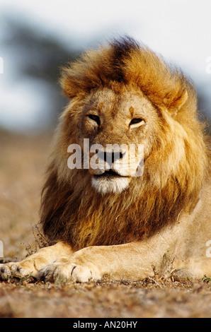 Loewe Lion Panthera leo male Portrait - Stock Photo