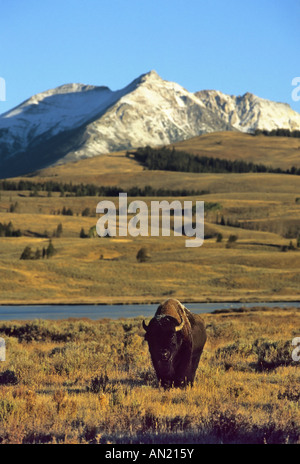 Bison Yellowstone NP USA - Stock Photo