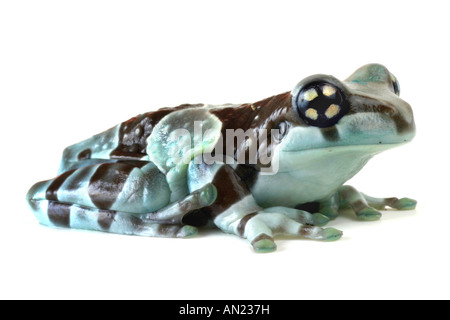 amazonian canopy frog Phrynohyas resinifictrix cutted out - Stock Photo