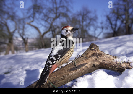Mittelspecht Middle Spotted Woodpecker Picoides medius - Stock Photo