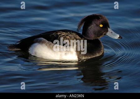 Reiherente Muenchen Deutschland Reiherente Tufted Duck Aythya fuligula Europe Europa - Stock Photo